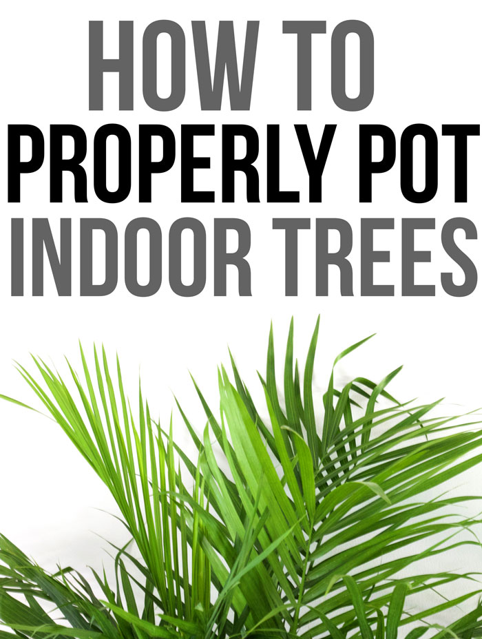 How to Properly Pot Indoor Trees - www.nikkisplate.com