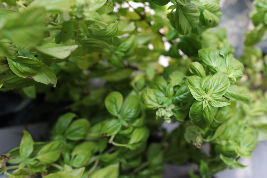 How to Make Easy Pesto; Here is your complete guide to making fresh pesto, storing it and freezing it for later! Stock up on your favourite pasta additive now!
